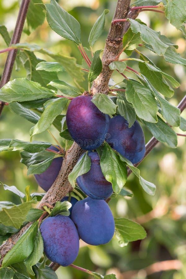 Árvore de ameixa da ameixa seca com ameixas maduras imagens de stock