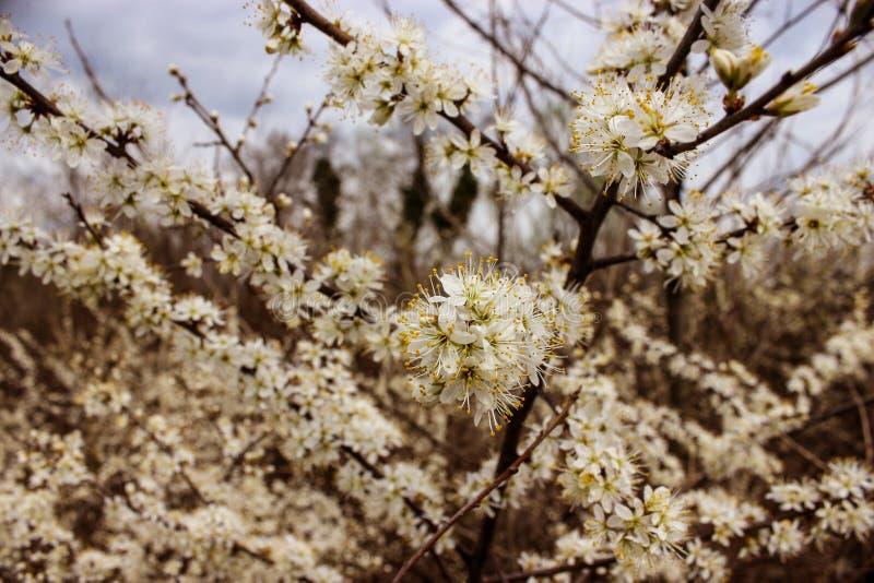 Árvore de ameixa de florescência imagens de stock royalty free