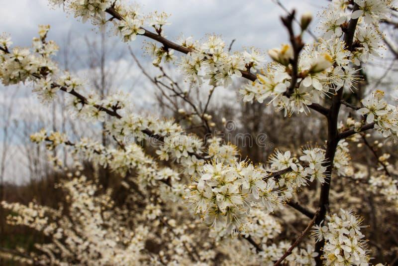 Árvore de ameixa de florescência imagens de stock