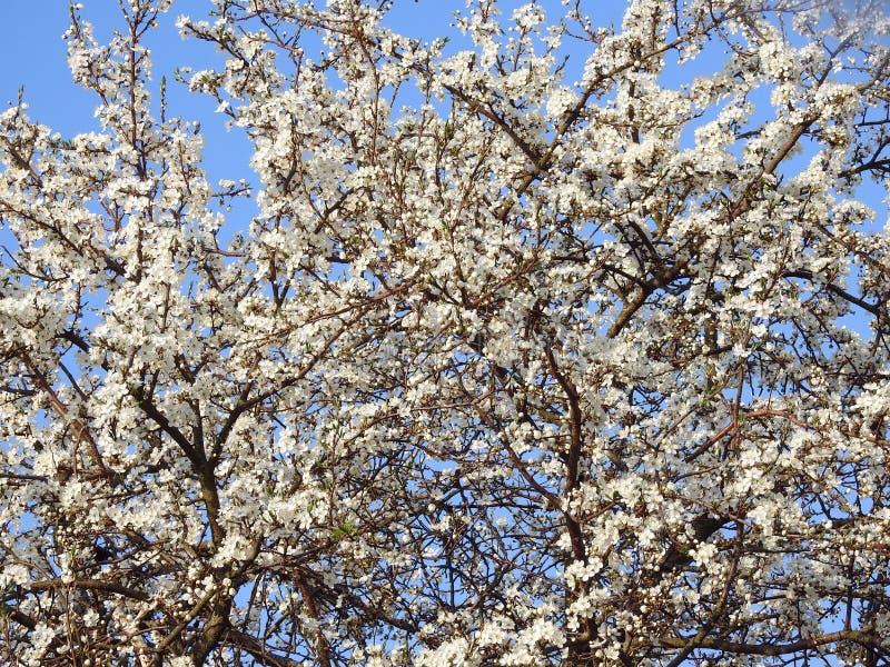 Árvore de ameixa de florescência bonita na mola, Lituânia imagem de stock royalty free