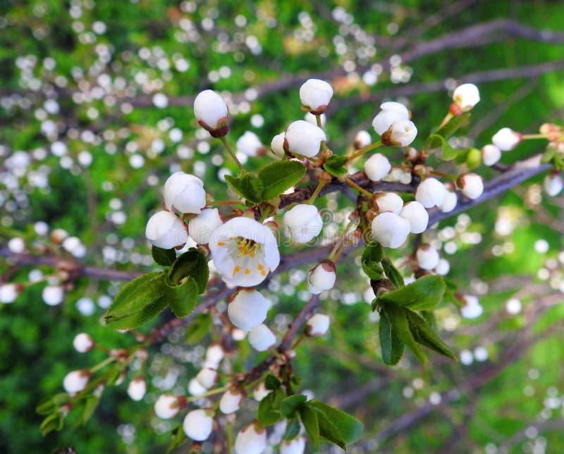 Árvore de ameixa de florescência na mola, Lituânia imagem de stock
