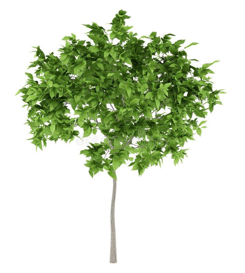 Árvore de ameixa isolada no branco fotos de stock royalty free