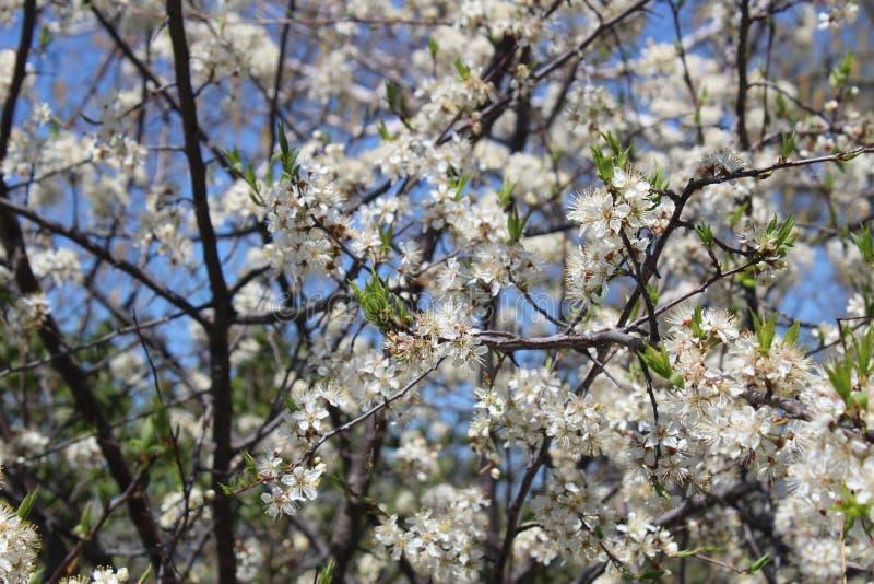 Árvore de ameixa na flor da primavera com flores brancas fotografia de stock