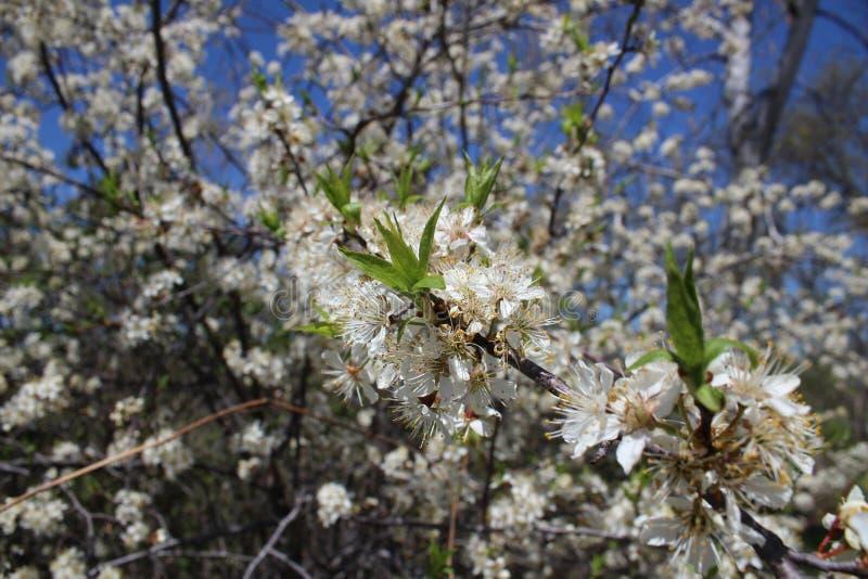 Árvore de ameixa na flor da primavera com flores brancas imagens de stock royalty free
