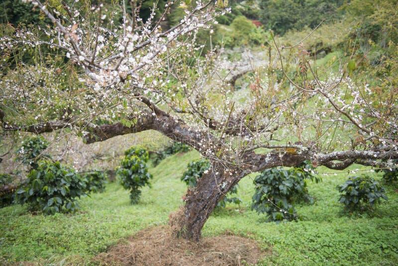 Árvore de ameixa no jardim imagem de stock royalty free