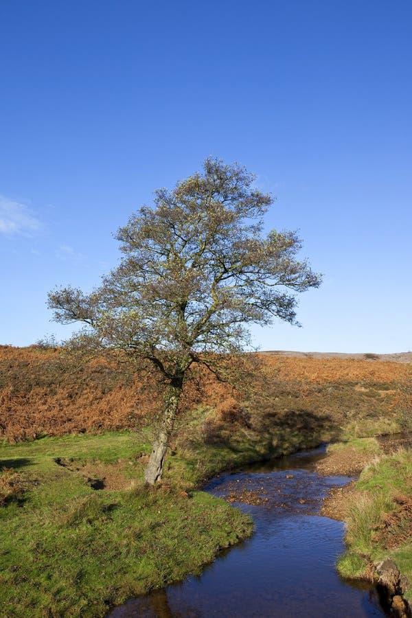 Árvore de amieiro do charneca imagem de stock royalty free