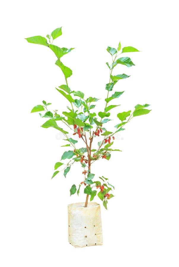 Árvore de amoreira com o fruto colorido que pendura no saco de plástico isolado no fundo branco com trajeto de grampeamento foto de stock royalty free