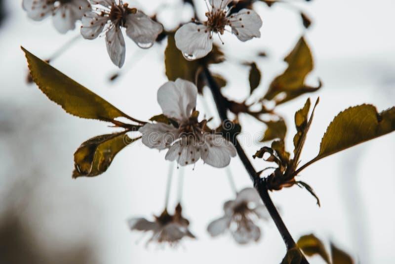 Árvore de Apple após a chuva, cheira perfumado fotos de stock royalty free