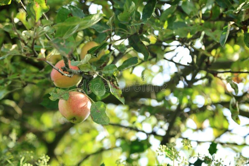 Árvore de Apple com frutos vermelhos no ramo fotografia de stock royalty free
