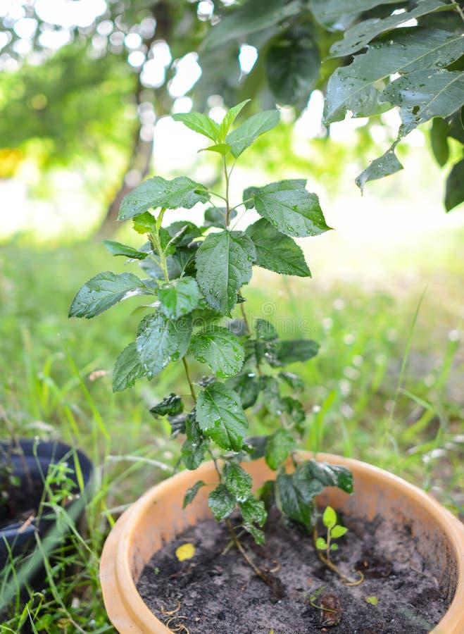 Árvore de Apple crescente em climas tropicais fotos de stock royalty free