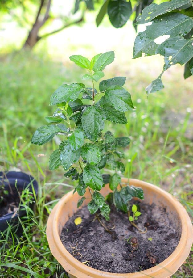 Árvore de Apple crescente em climas tropicais imagem de stock
