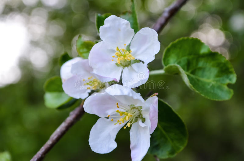 Árvore de Apple de florescência foto de stock royalty free