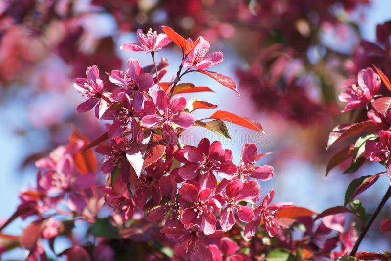 Árvore de Apple de florescência do caranguejo imagens de stock royalty free
