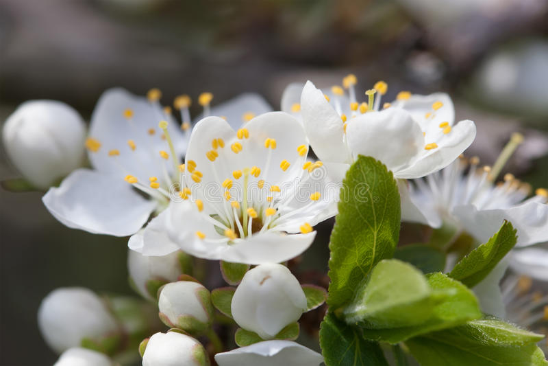 Árvore de Apple de florescência Flores brancas da vista macro Paisagem da natureza da mola Fundo macio foto de stock royalty free