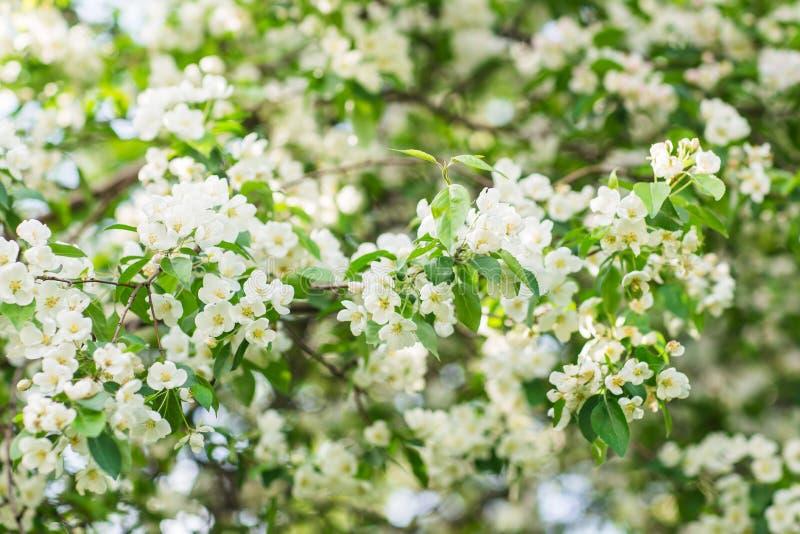 Árvore de Apple de florescência no tempo de mola fotografia de stock