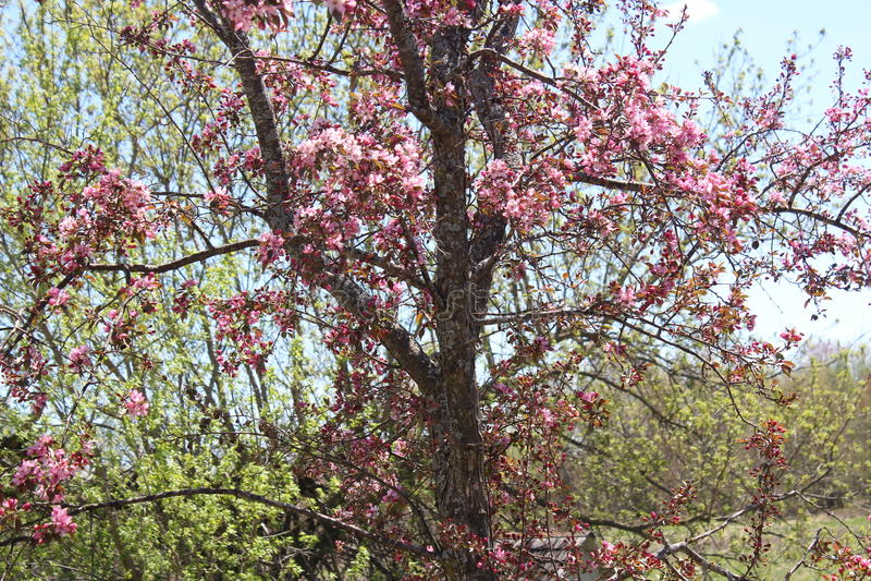 Árvore de Apple do caranguejo que floresce na flor da primavera imagens de stock royalty free
