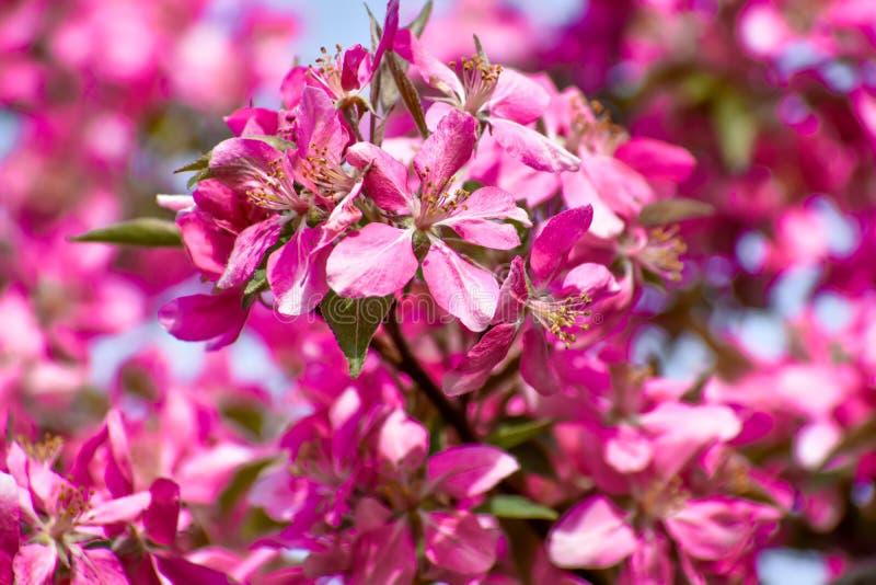Árvore de Apple de florescência com flores roxas, fundo do caranguejo fotografia de stock