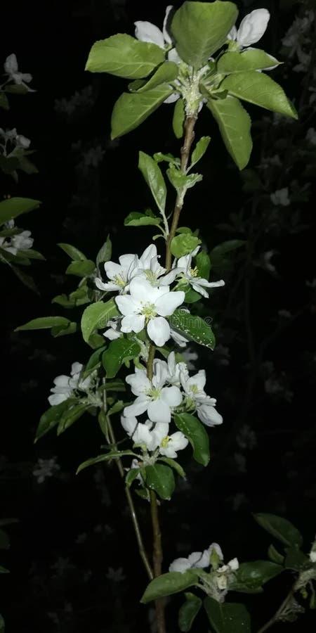 Árvore de Apple de florescência na noite imagens de stock royalty free