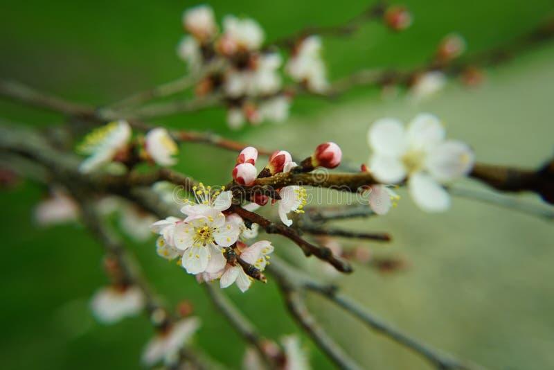 Árvore de Apple na flor foto de stock royalty free