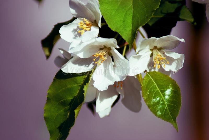 Árvore de Apple na flor - estação de mola fotografia de stock