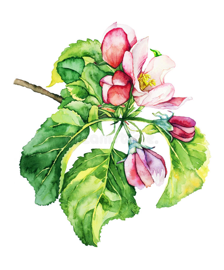 Árvore de Apple no blossomwatercolor ilustração do vetor