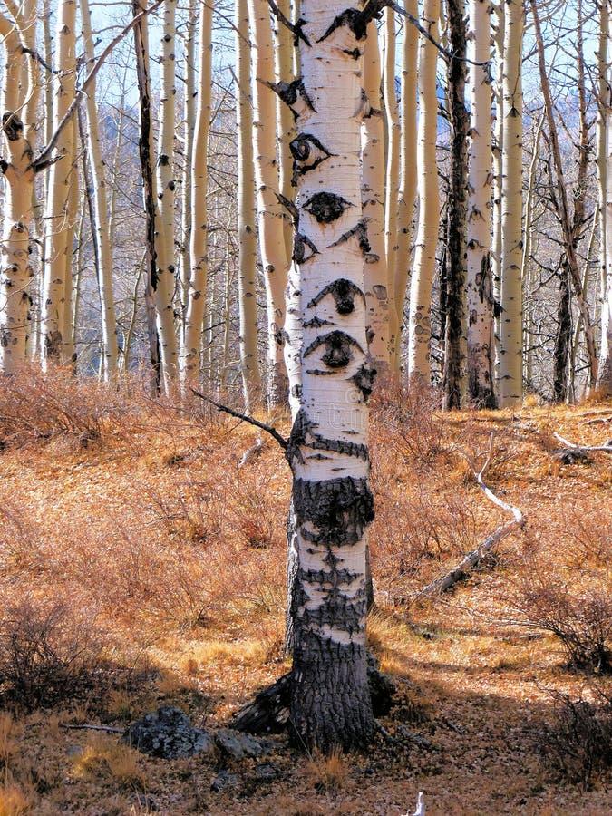 Árvore de Aspen com olhos toda ao redor fotografia de stock royalty free