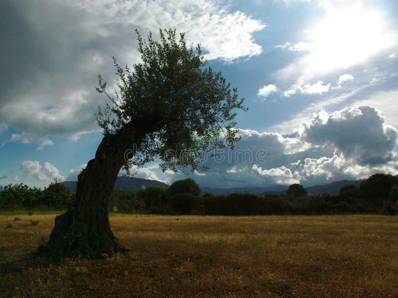 Árvore de azeitona curvada pelo vento imagens de stock