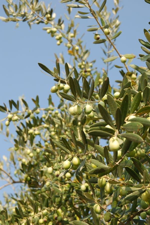 Árvore de azeitonas imagem de stock royalty free