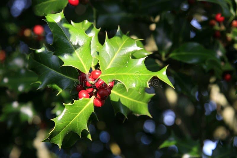 Árvore de azevinho imagens de stock