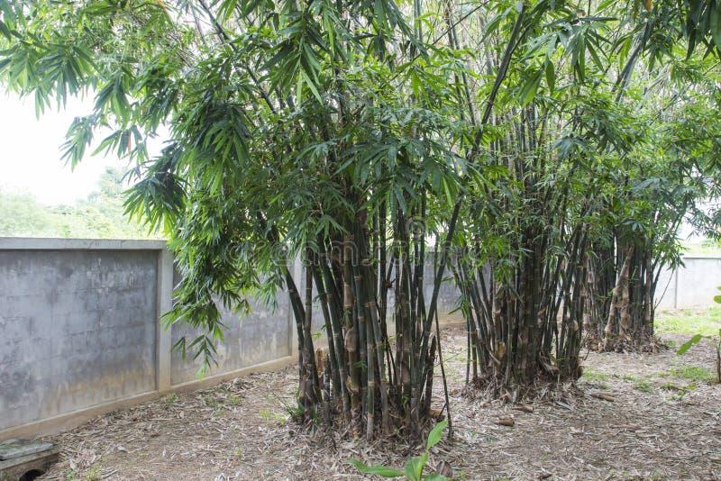Árvore de bambu no jardim imagem de stock royalty free