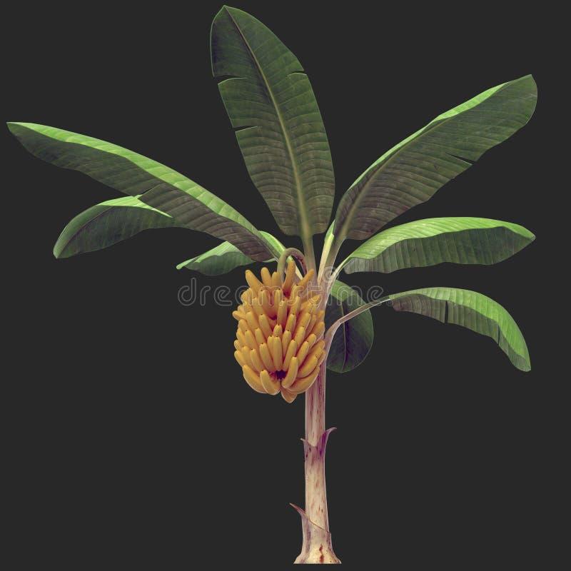Árvore de banana 06 ilustração do vetor