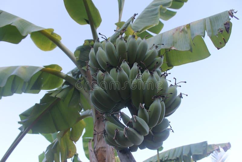 Árvore de banana imagem de stock