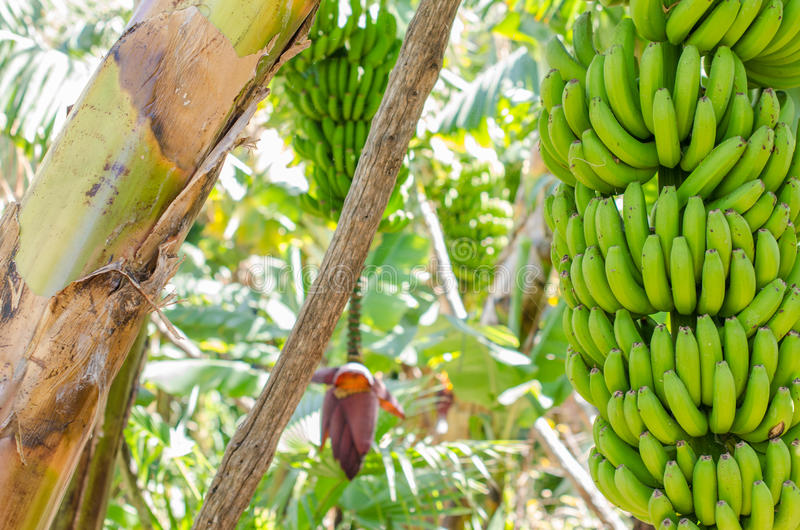 Árvore de banana com um grupo das bananas fotos de stock royalty free