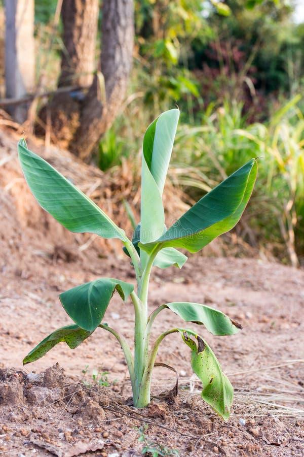 Árvore de banana nova imagem de stock