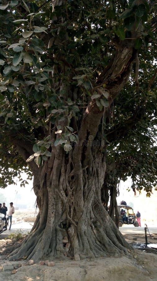 Árvore de Banyan fotos de stock royalty free