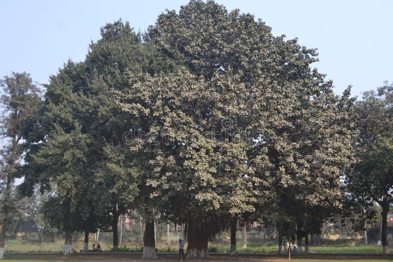 Árvore de Banyan imagens de stock