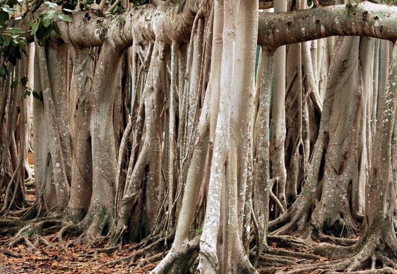 Árvore de Banyan 2 fotos de stock royalty free