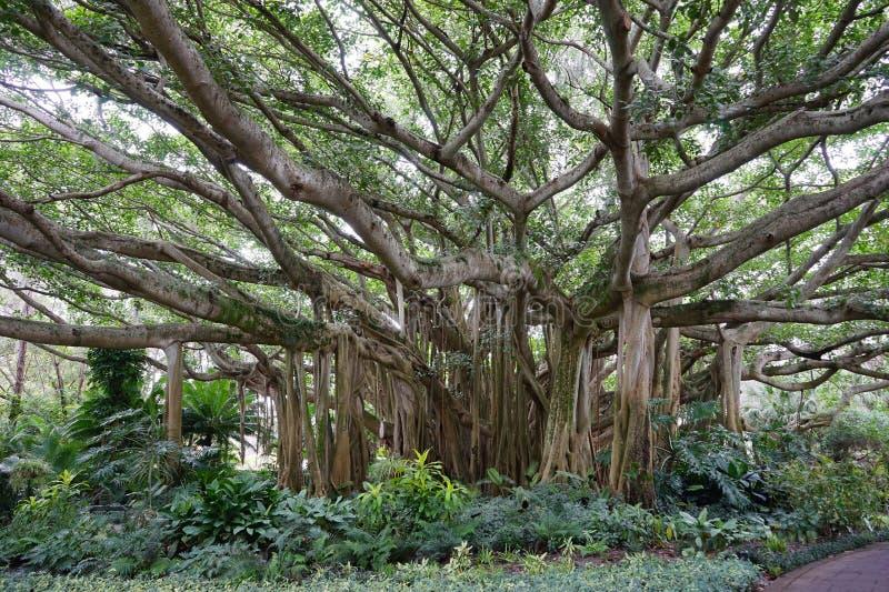 Árvore de Banyan fotos de stock