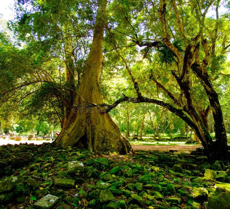 A árvore de Banyan enraíza em ruínas do templo de Angkor, Siem Reap, Camboja imagens de stock