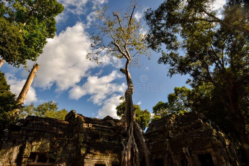 A árvore de Banyan gigante enraíza sobre o templo de Ta Phrom, Angkor, parque arqueológico, Camboja imagens de stock