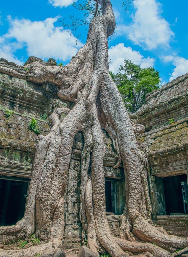 Árvore de Banyan grande que cresce sobre o templo de Ta Prohm foto de stock