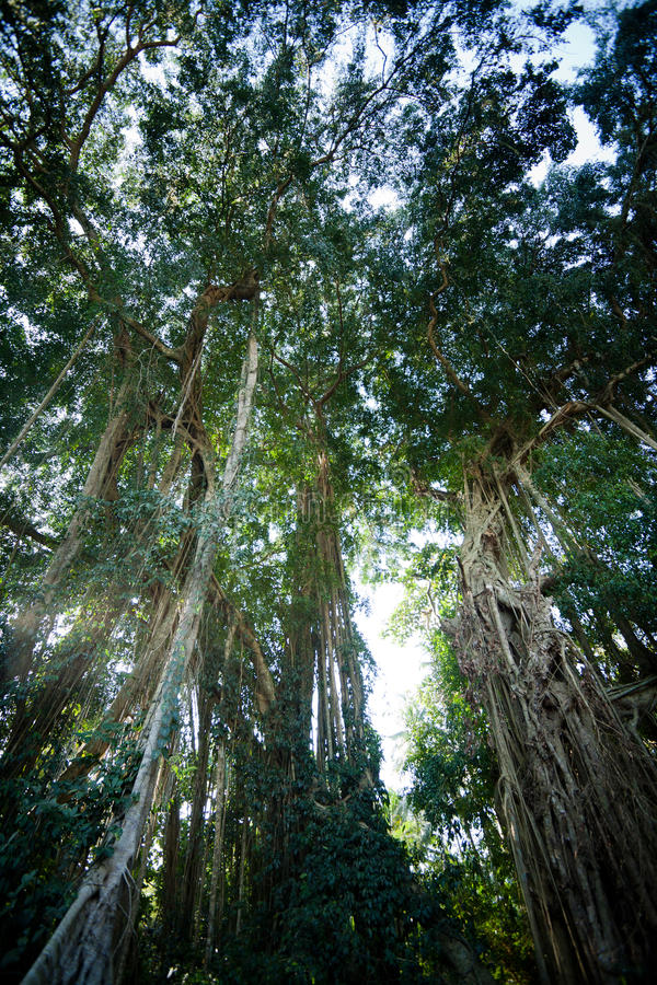 Árvore de Banyan na floresta tropical, Bali, Indonésia imagem de stock royalty free