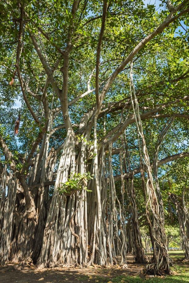 Árvore de Banyan no parque da praia de Alá Moana, Honolulu, Havaí fotografia de stock royalty free