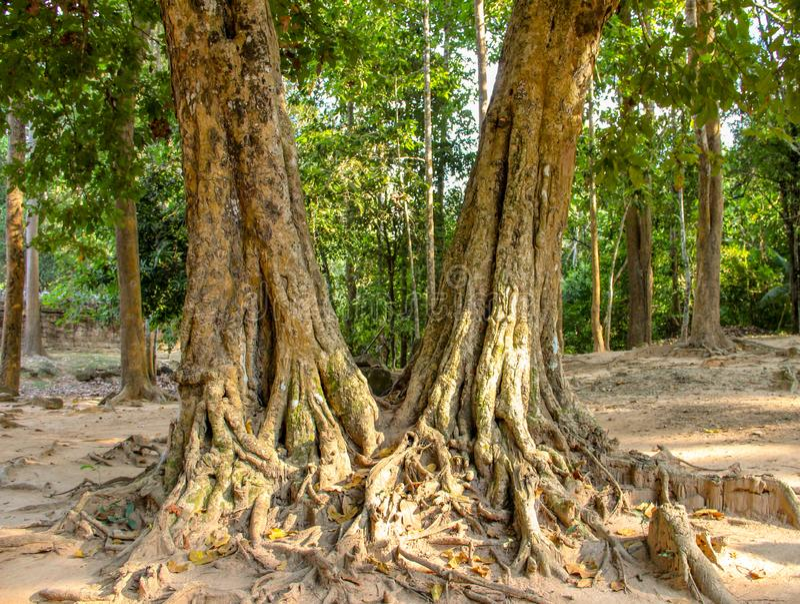 Árvore de Banyan no templo do som de Ta, Siem Reap fotos de stock royalty free