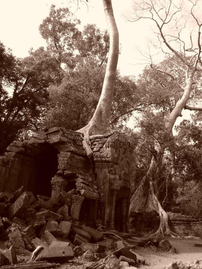 Árvore de Banyan que cresce com as ruínas fotos de stock
