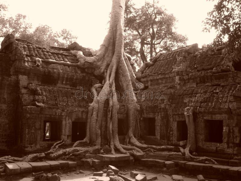 Árvore de Banyan que cresce com as ruínas foto de stock royalty free