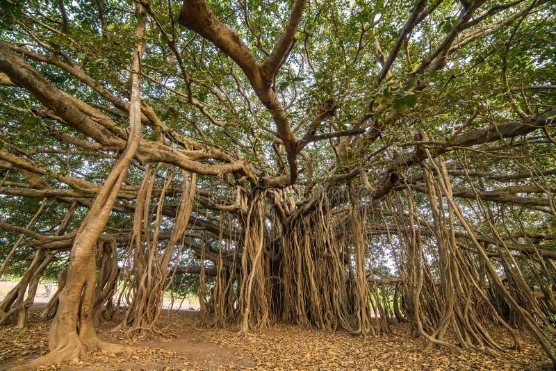 Árvore de Banyan surpreendente imagem de stock
