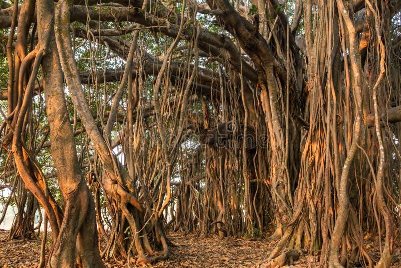 Árvore de Banyan surpreendente na luz solar da manhã imagem de stock