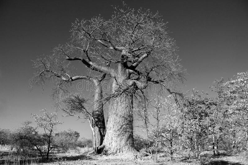 Árvore de Baoba imagens de stock royalty free