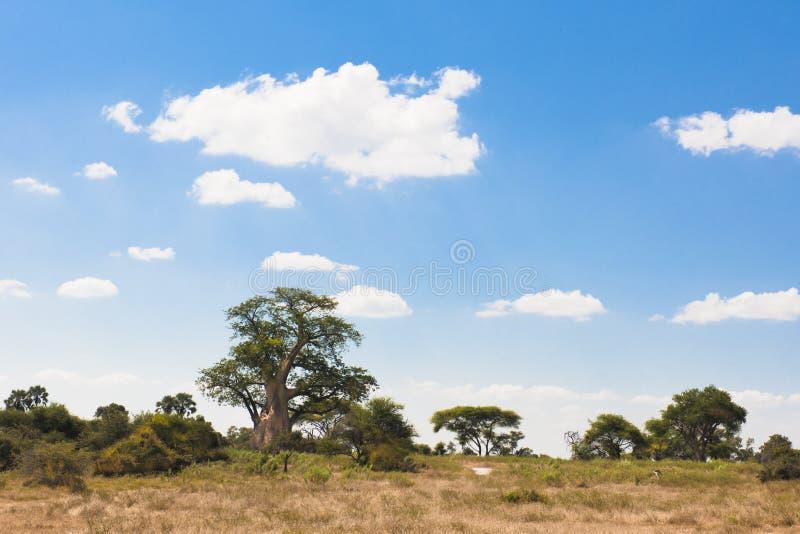 Árvore de Baoba imagens de stock